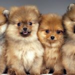 The Cutest Pomeranians of Instagram