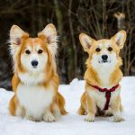 7 of Instagram's Cutest Corgi Celebrities!